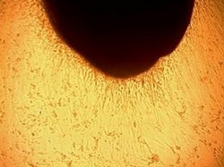 Adult stem cells in culture. Compliments of Regenerative Sciences, Inc. (copyright 2009 Regenerative Sciences, Inc)