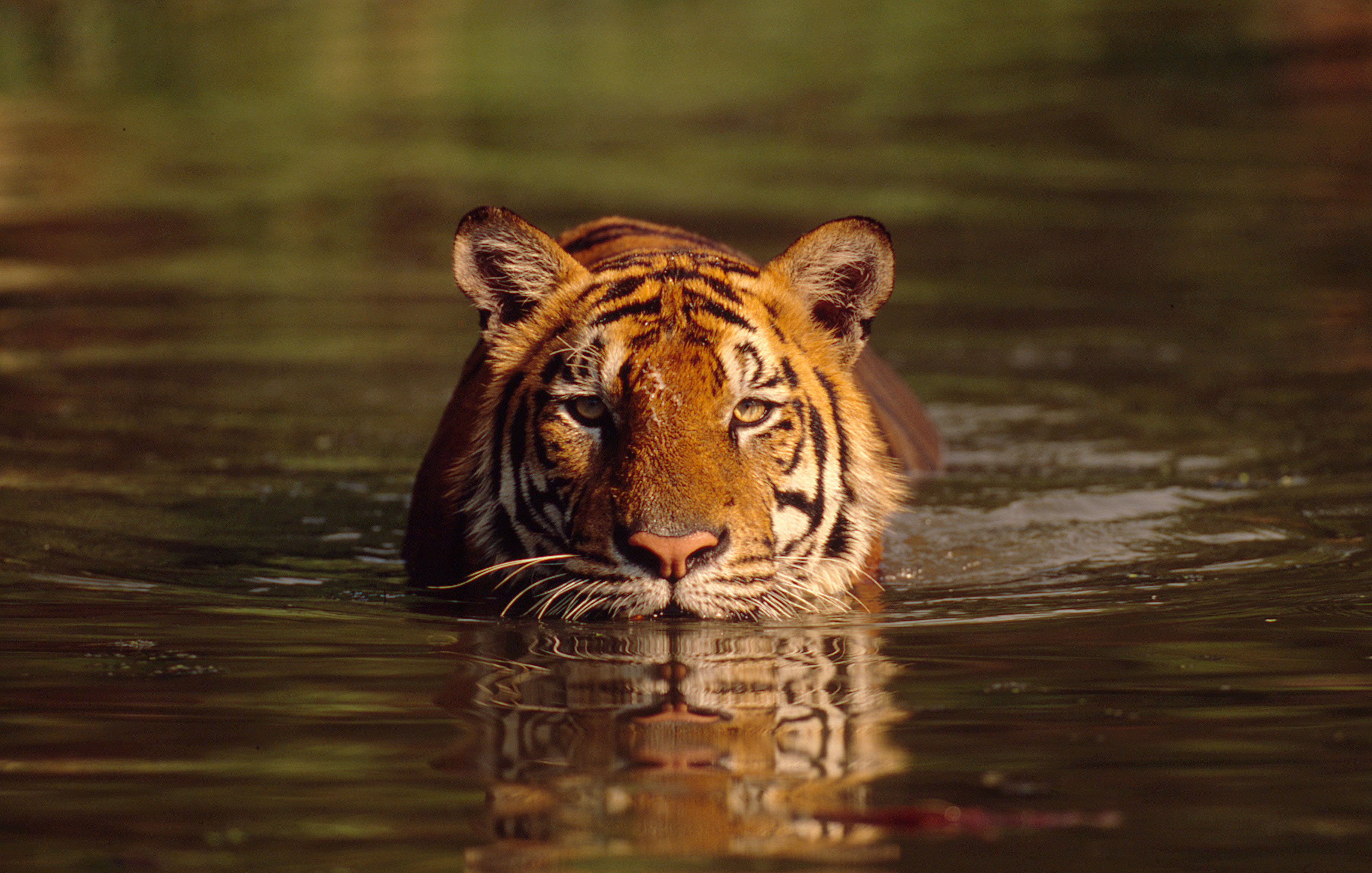 the background information of tigers Onekindplanet is the place to go for animal facts, top tens, animal a-z, guides to animal behavior, emotions and sentience,  more information accept.