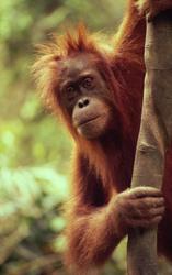 Orangutan. Michael Terrettaz/WWF Canon