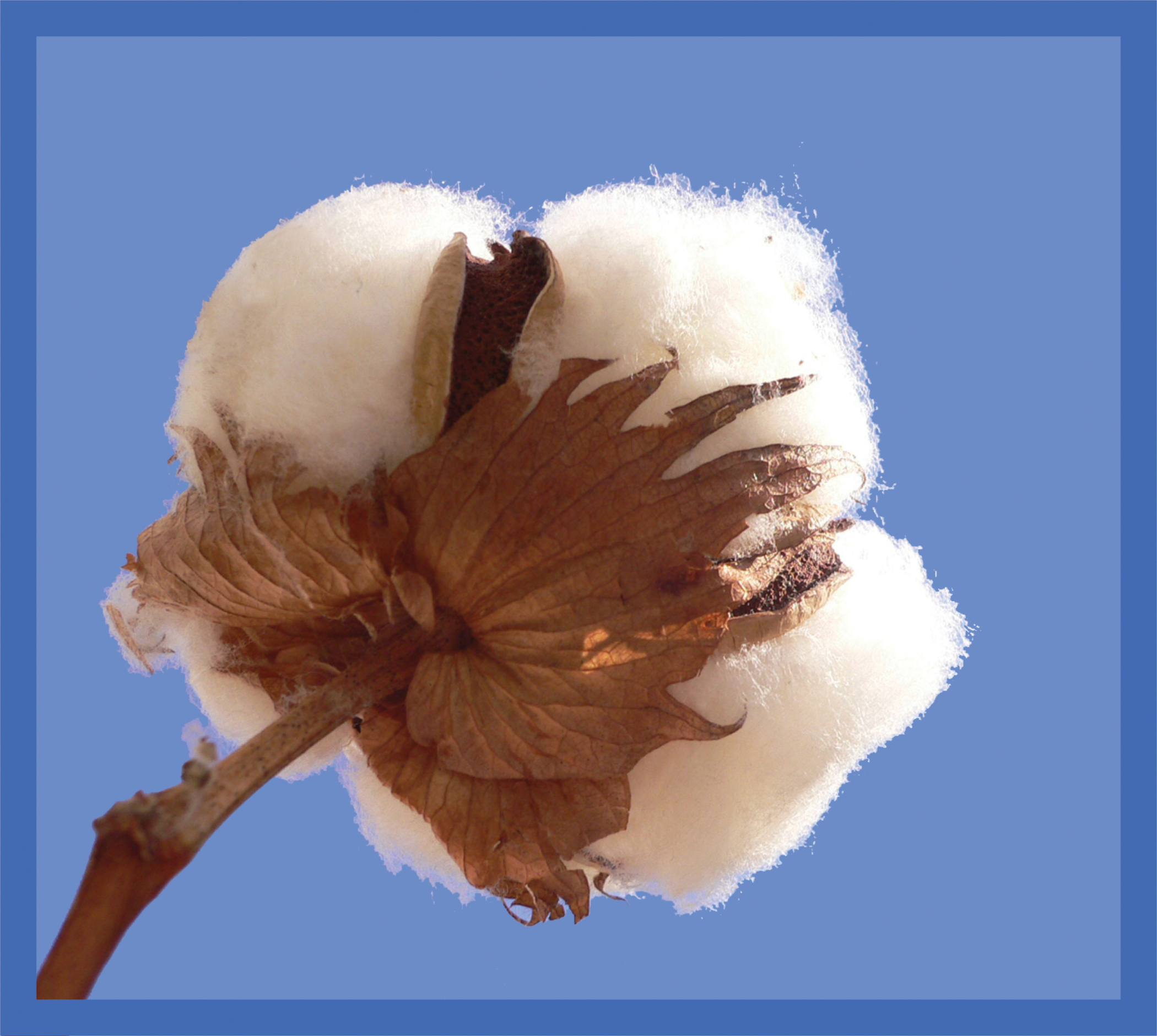 Dupont business pioneer hi bred recently added cotton to enhance its