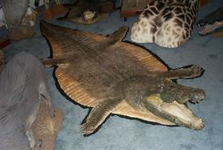 Crocodile Rug And Mastodon Tusk Among 850 Taxidermy Mounts