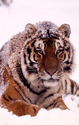 wwf, world wildlife fund, tiger