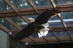 bald eagle, female bald eagle, flight cage, West Sound Wildlife Shelter, Lynda McMaken