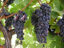 Syrah and Merot Grapes were subsituted for Pinot Noir grapes
