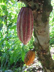 Mokugift agroforestry trees