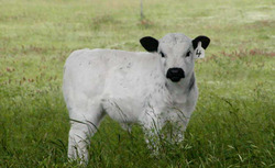 British White Heifer, Conceived on Grass, Reared on Grass
