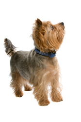Pet Insurance for a Yorkshire Terrier
