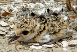 Gulf Coast oil spill shorebird chicks on nest