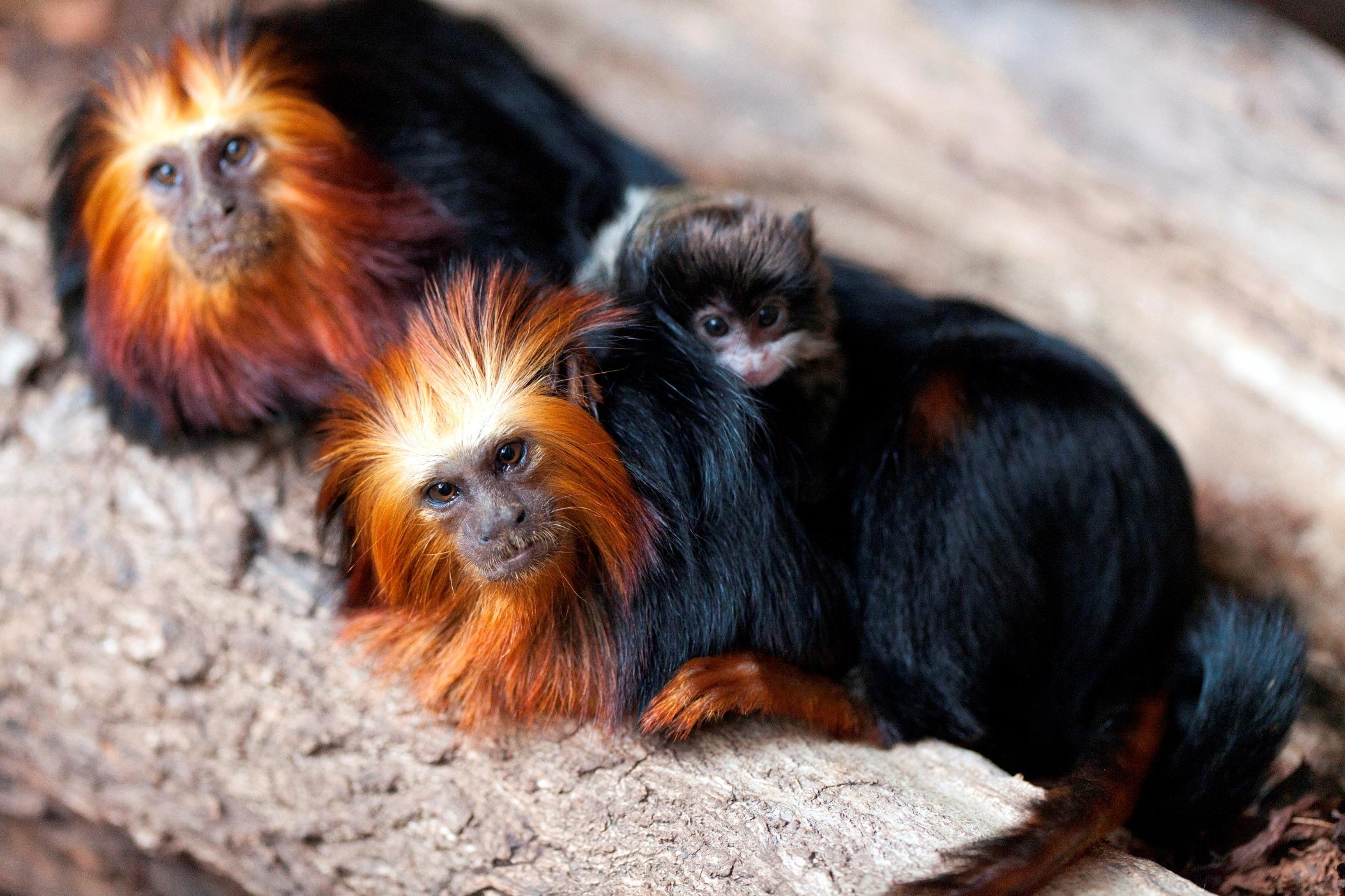 Baby emperor tamarin monkey