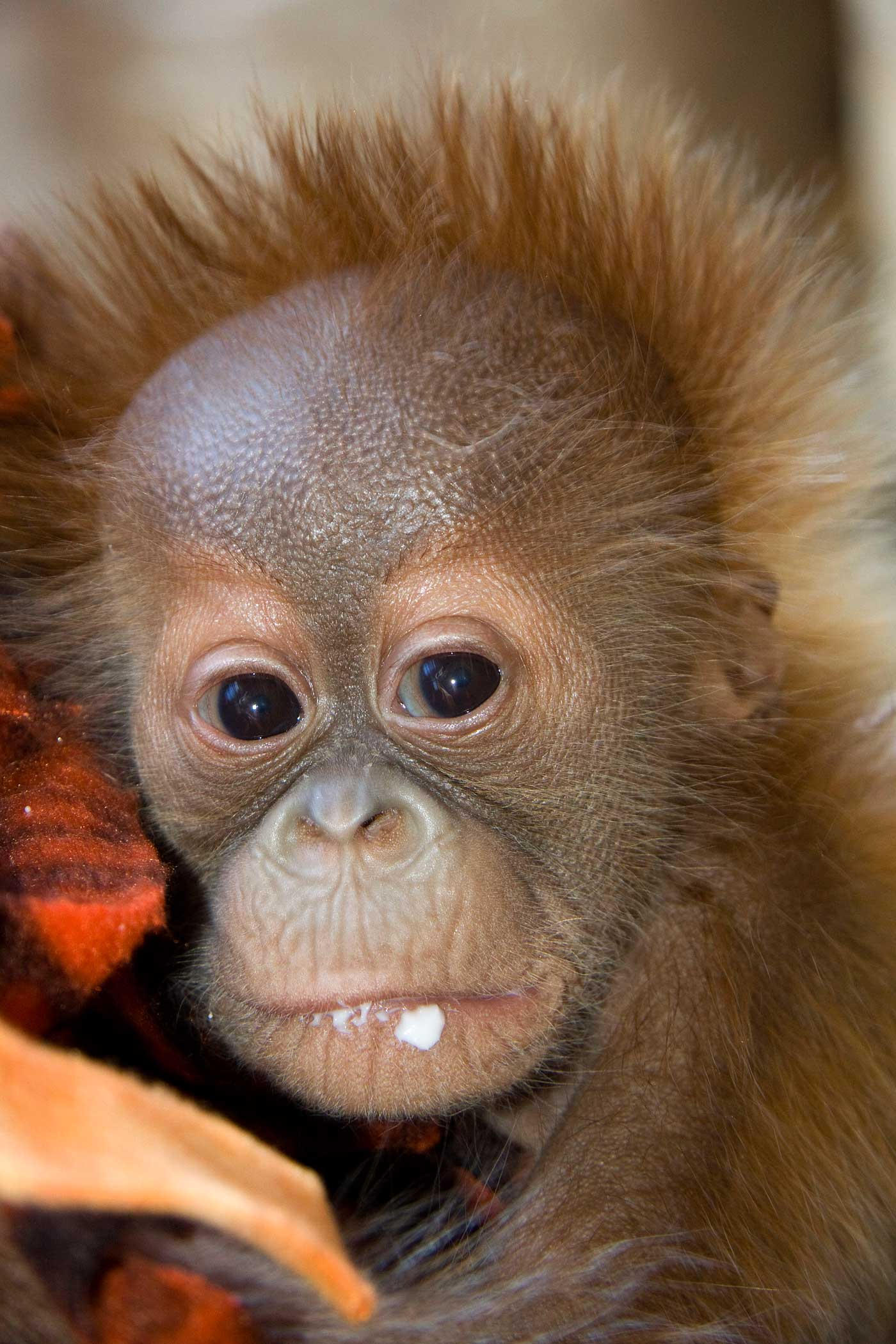 Denver Zoo Helps Orangutan Mother With New Infant