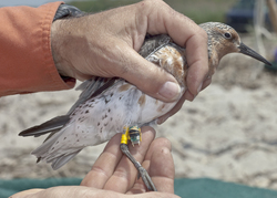 migratory Red Knot in New Jersey with geolocator