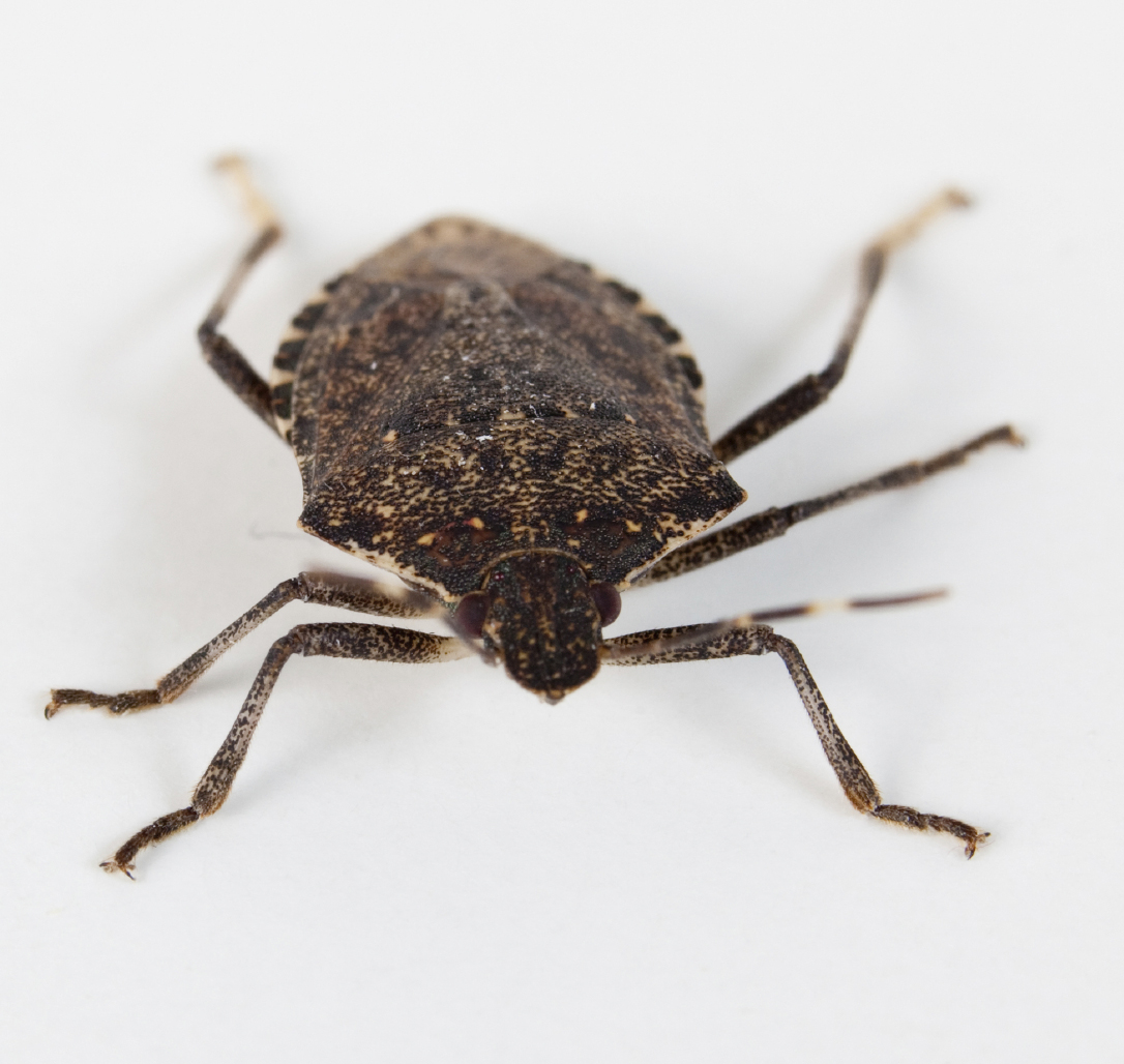 Inside Cozy Homes: Stink Bugs Are Taking New Jersey By Swarm: These Smelly