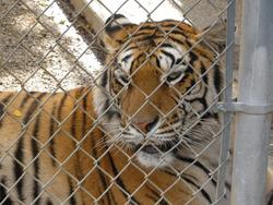 Tigers, captive, Tiger, Summit, Wildlife, Trade, Tiger, Trade