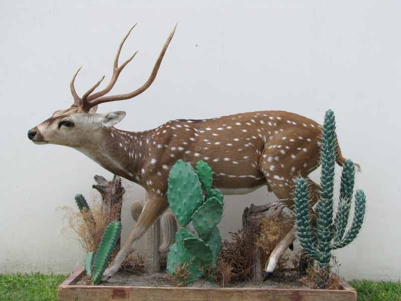 World record axis deer axis deer