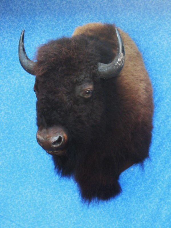 Rare Black Rhino Black Maned Lion Among 900 Taxidermy