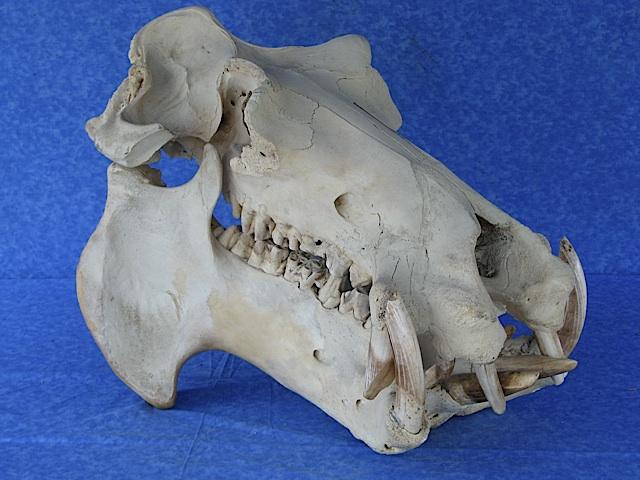 Rare Black Rhino Black Maned Lion Among 900 Taxidermy