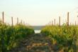 A Riesling Vineyard on the West Side of Seneca Lake in Finger Lakes Wine Country