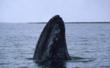Gray whale (Eschrictius robustus), Baja California Norte, Mexico.