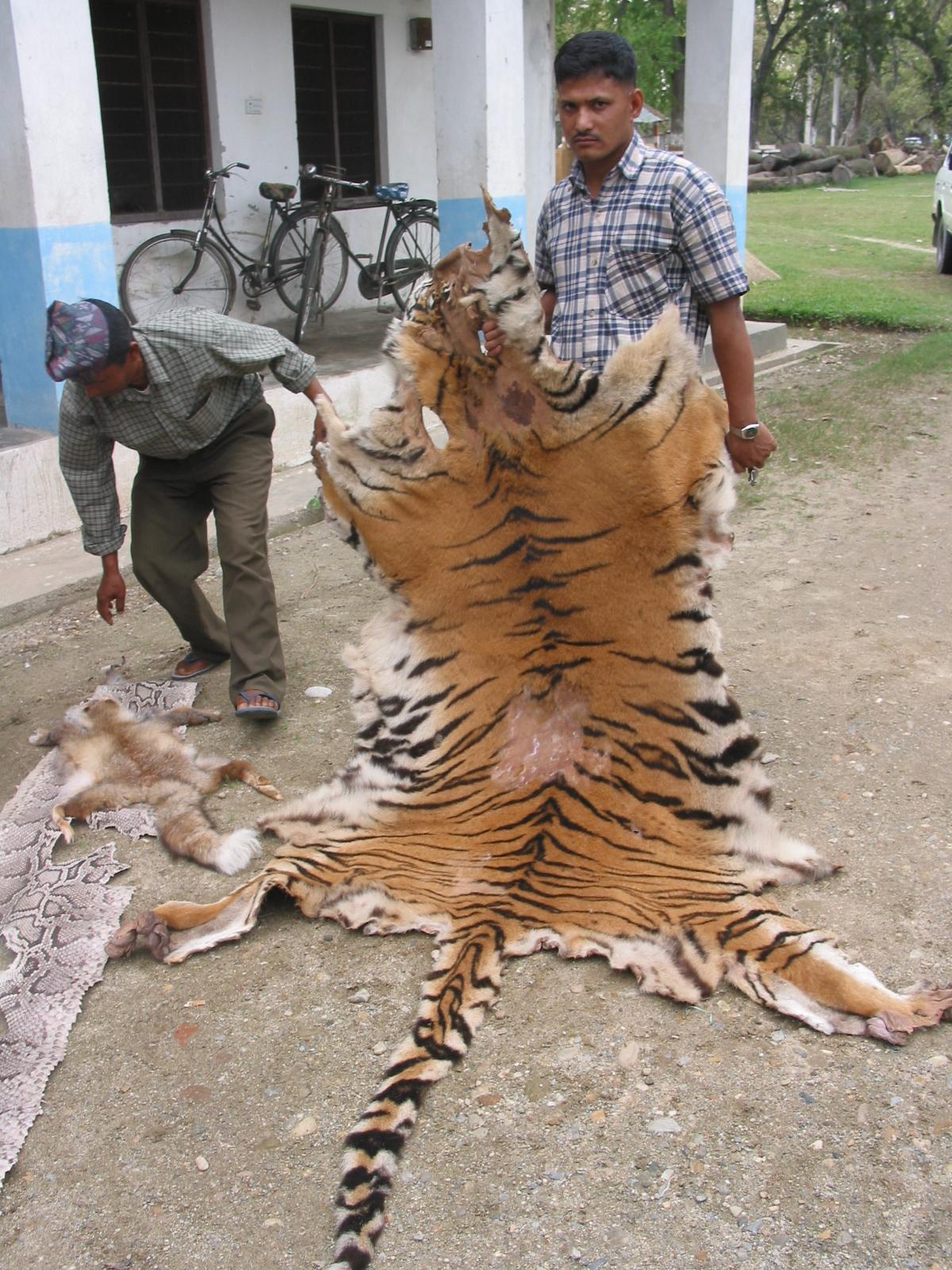 animal poaching tigers - photo #31