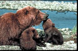 National Wildlife Federation, Grizzly, Cubs