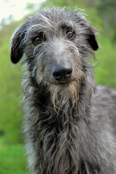 "Family Life Insurance >> Pet Insurance Company Offers Guidance on Scottish Deerhound, This Year's ""Best In Show"" Breed"