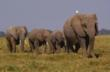 Breeding herd, Amboseli National Park, Kenya © Martin Harvey / WWF-Canon