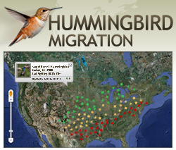Follow the Hummingbirds with our NEW Interactive Hummingbird Migration Map