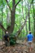 Large American Chestnut Tree on Chimney Corners Resort property