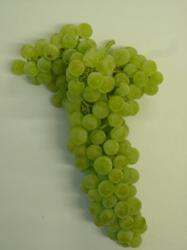 Bunch of Tempranillo Blanco grapes