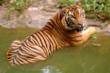 Sumatran Tiger, Jakarta, Indonesia © Saipul SIAGIAN / WWF-Indonesia
