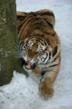 Female Siberian / Amur tiger  © naturepl.com /Rod Williams / WWF