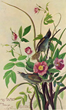John James Audubon Seaside Finch: Carolina Roses.