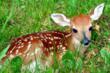 Fawn Deer in Grass