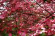 In the Dogwood Tree