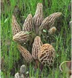 Grow Backyard Morel Mushrooms this Spring