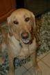 Lucy #2 is a sweet and energetic Labrador Retriever.