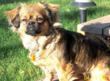 Chai is a Pekinese mix.