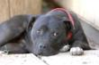 Way Cleared for Removal of Stigma on Canines Rescued From dog Fighting...