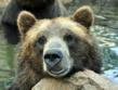 Digger, a grizzly bear who resides at the Cheyenne Mountain Zoo