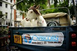 The Capricorn goats arrive in Soho Square