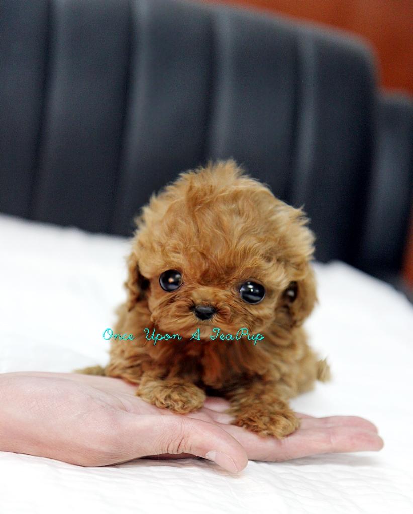 'OnceUponaTeaPup.com' Now Handles All TeaCup Puppy Sales ...  'OnceUponaT...