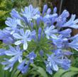 Agapanthus africanus 'Peter Pan' in blooms of blue.