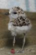 Snowy plover chick posing for camera