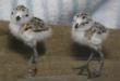 Snowy plover chicks hatch behind-the-scenes at the aquarium