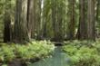 Montgomery Woods State Natural Reserve. Photo credit: Peter Buranzon