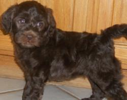 Australian Labradoodle Puppies for sale in Northern Calofornia. Labradoodle Breeder