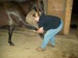 Equine Massage Therapy:  stretching should only be done with warm muscle such as after a massage