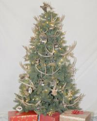 Buckhorn Pine Christmas Tree
