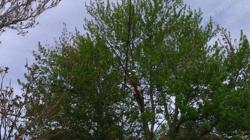 Pruning reduces liability while improving the health and beauty of the tree.