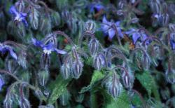Common Borage